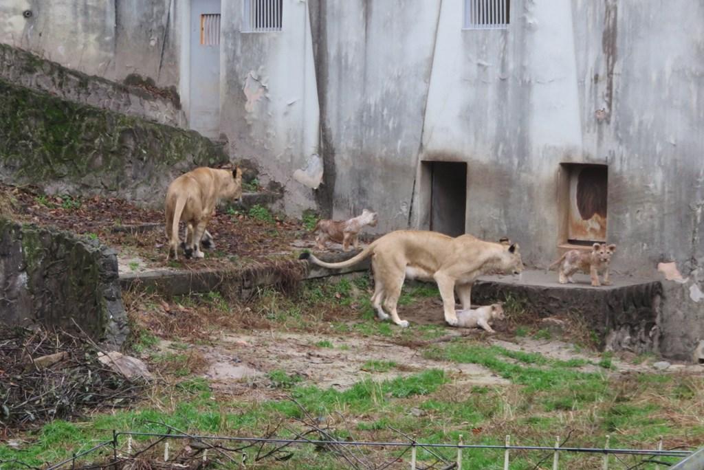 ライオンの子、はじめての運動場