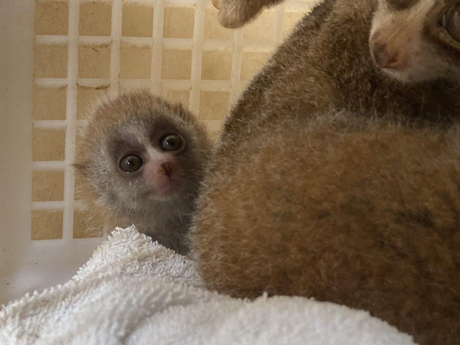 スローロリスの赤ちゃんの成長①