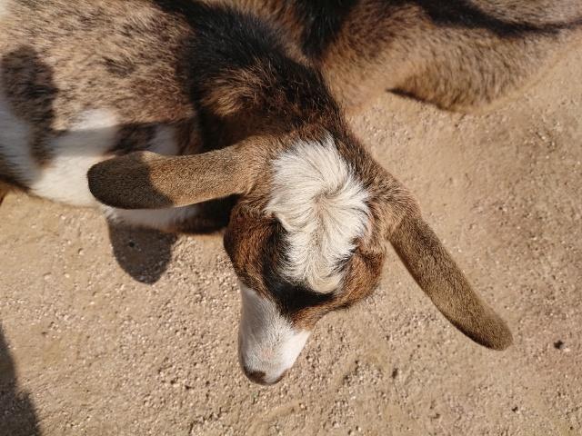 暖かいとヤギはこんな感じ!