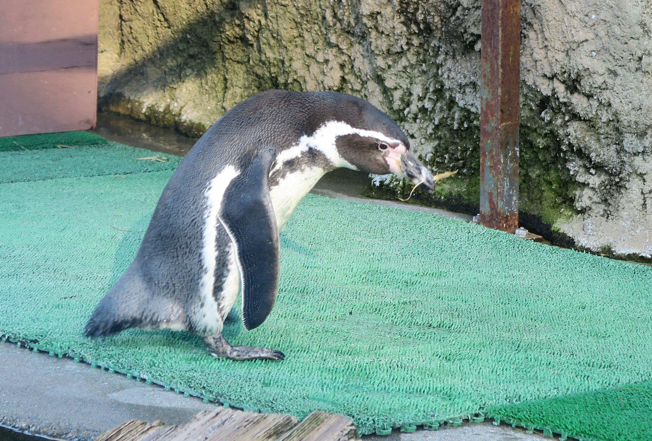 ペンギンぷーるの日常⑥ 卵の回収