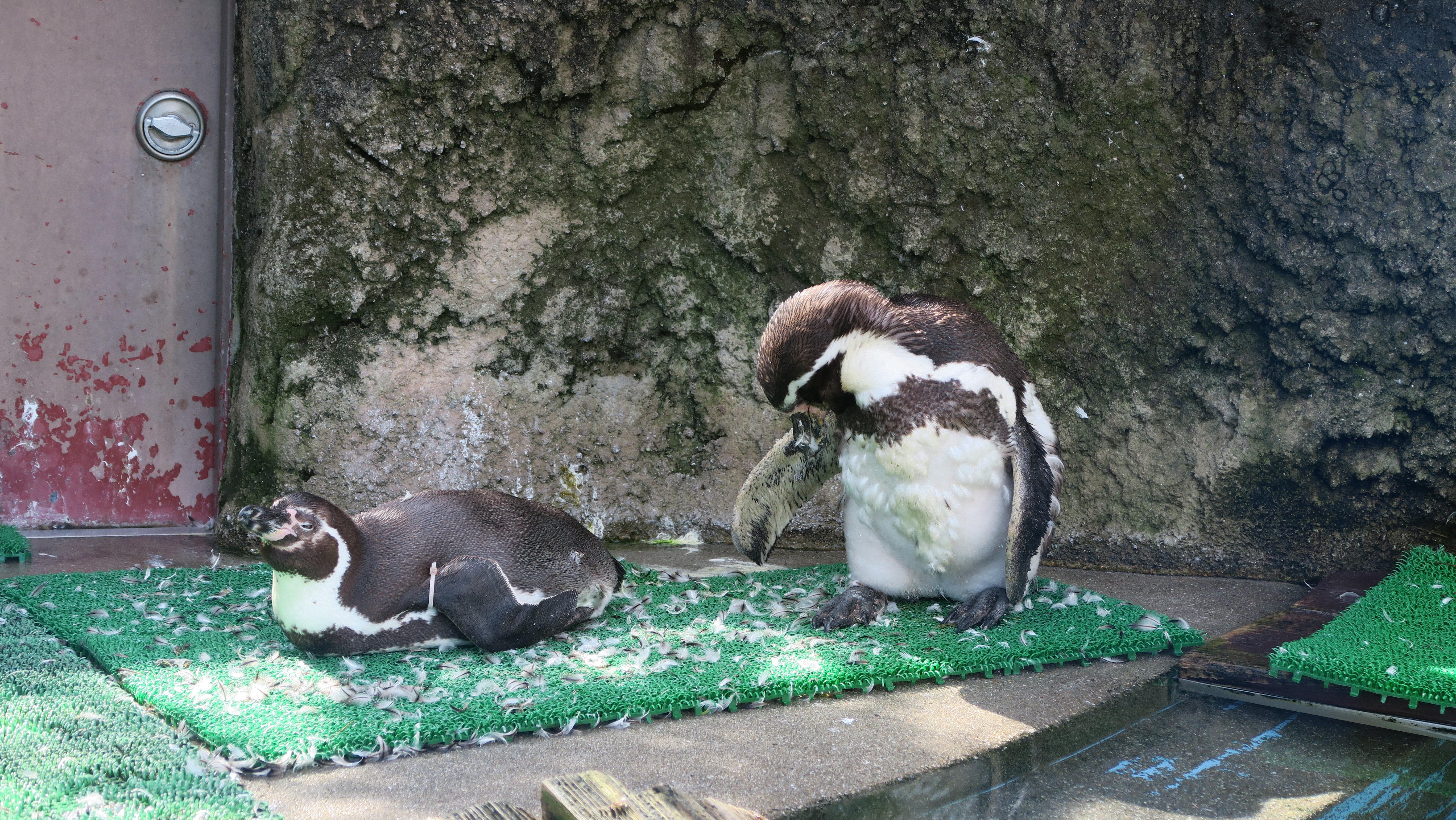 ペンギンぷーるの日常③ 換羽