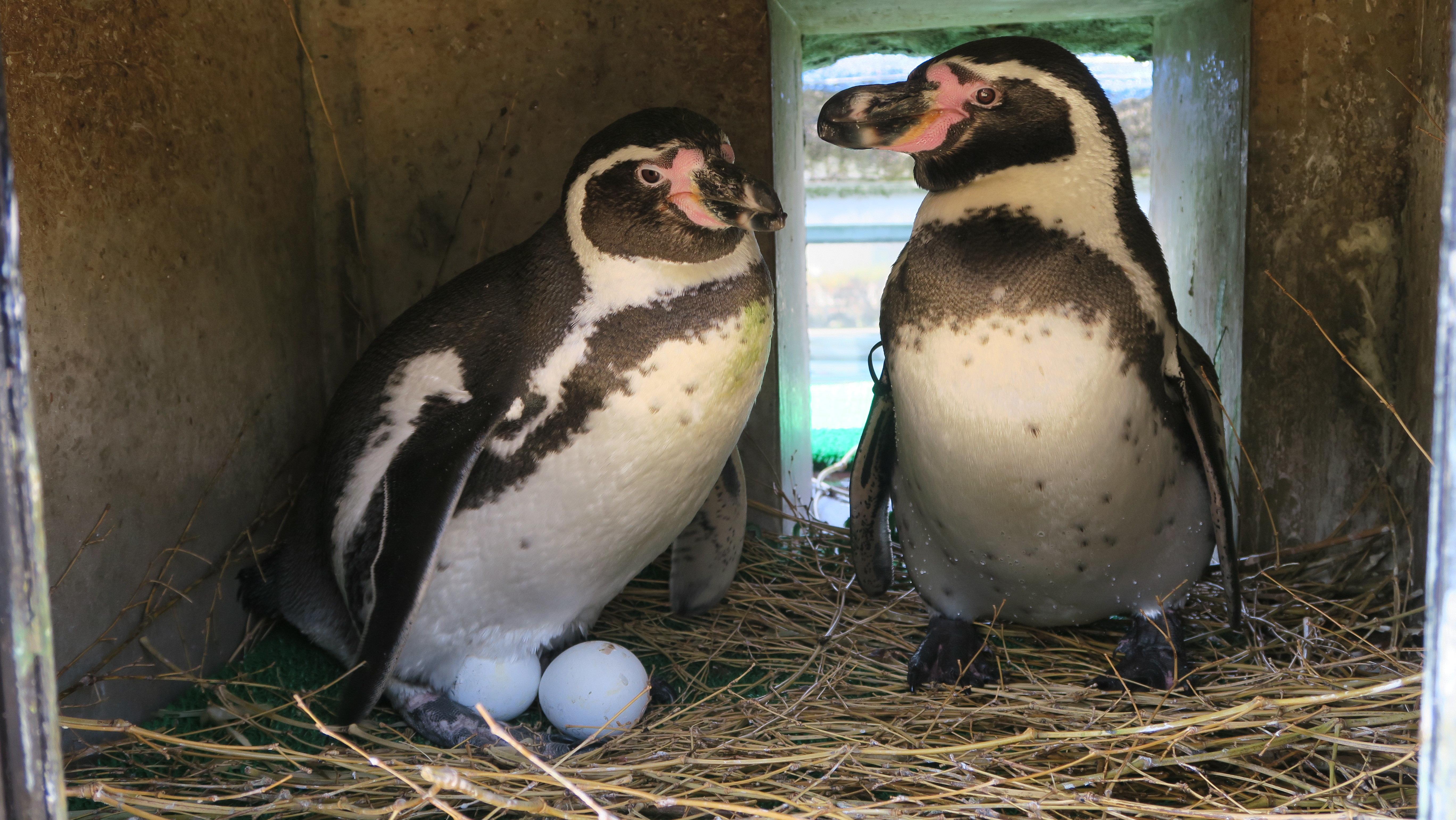 ペンギンぷーるの日常⑦ 2クラッチ目の産卵