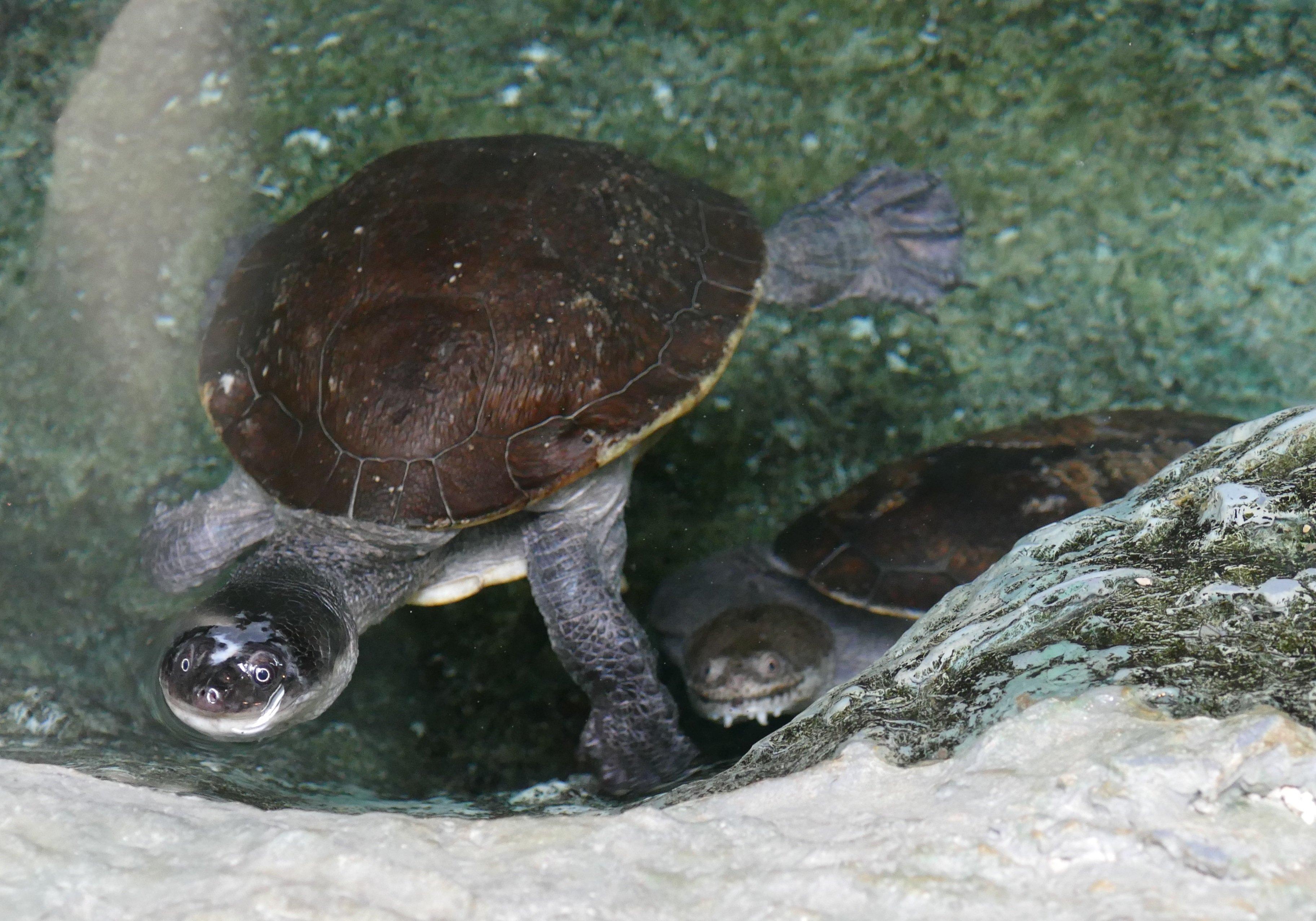 はちゅうるい館の仲間たち(11)2種のナガクビガメ