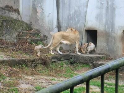 ⑤s-H30.12.20 ライオン アマエルの子、初放飼 CIMG5397.jpg