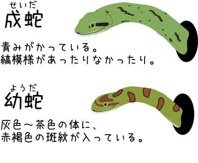 アオダイショウ幼蛇.jpg