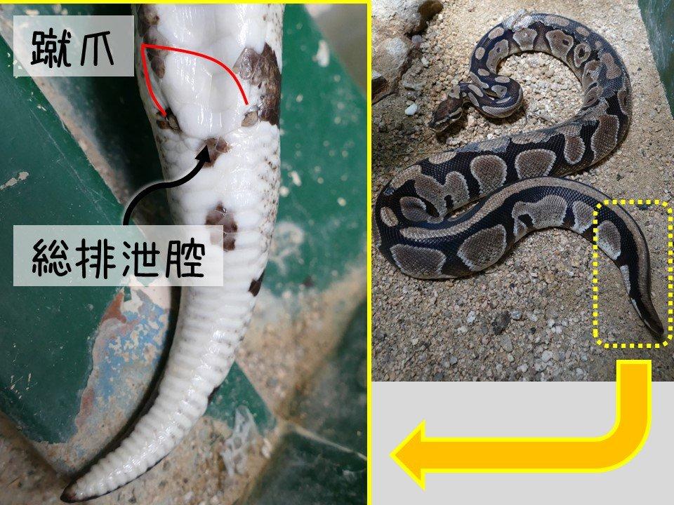 はちゅうるい館の仲間たち(6)ボールニシキヘビ