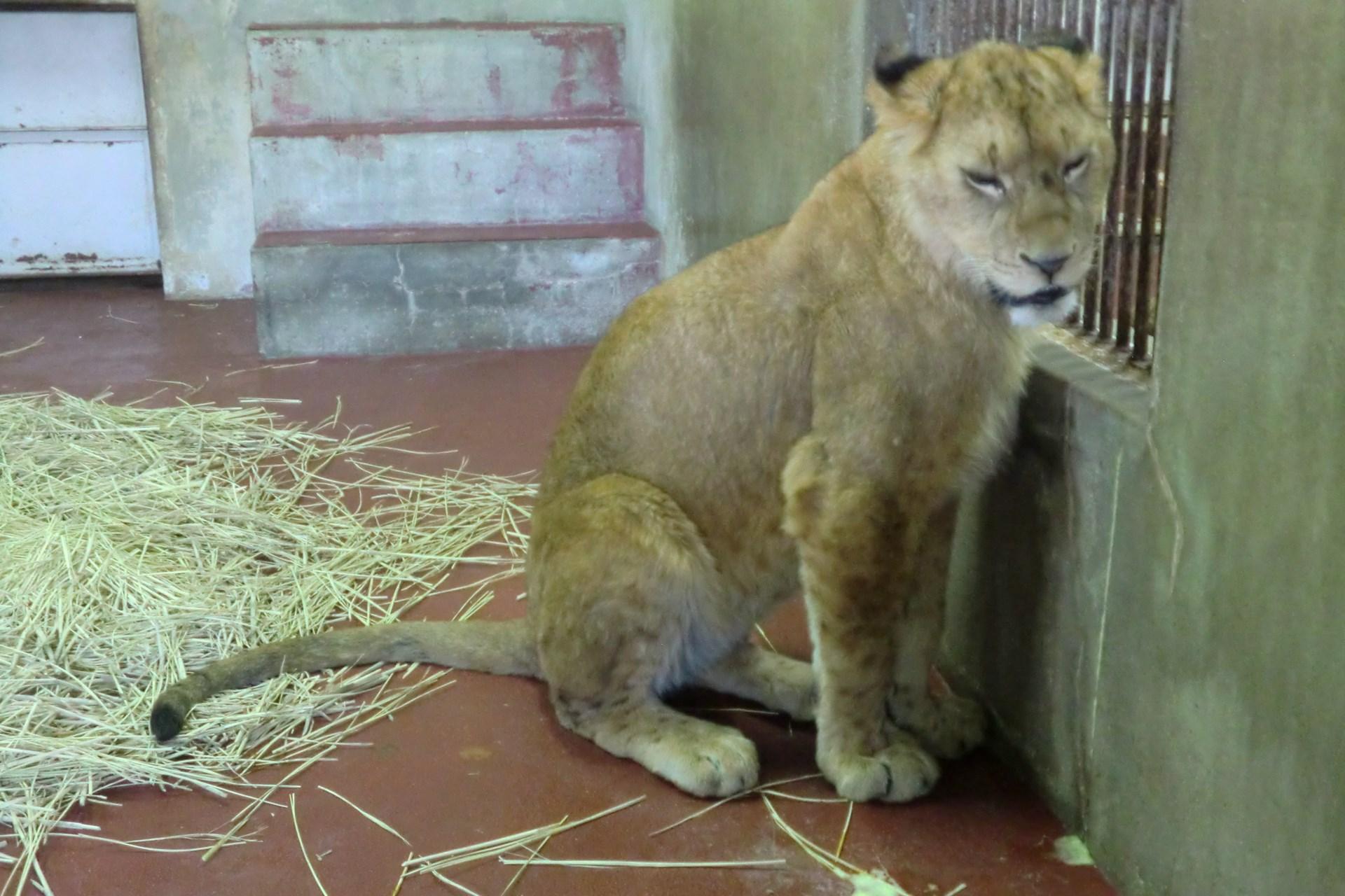 メスのライオンがやってきた♪