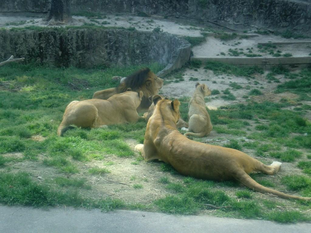 ライオン舎で展示変更のおしらせ