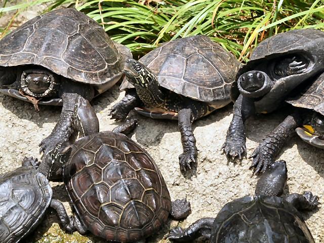 クサガメ / Reeves' Pond Turtl...