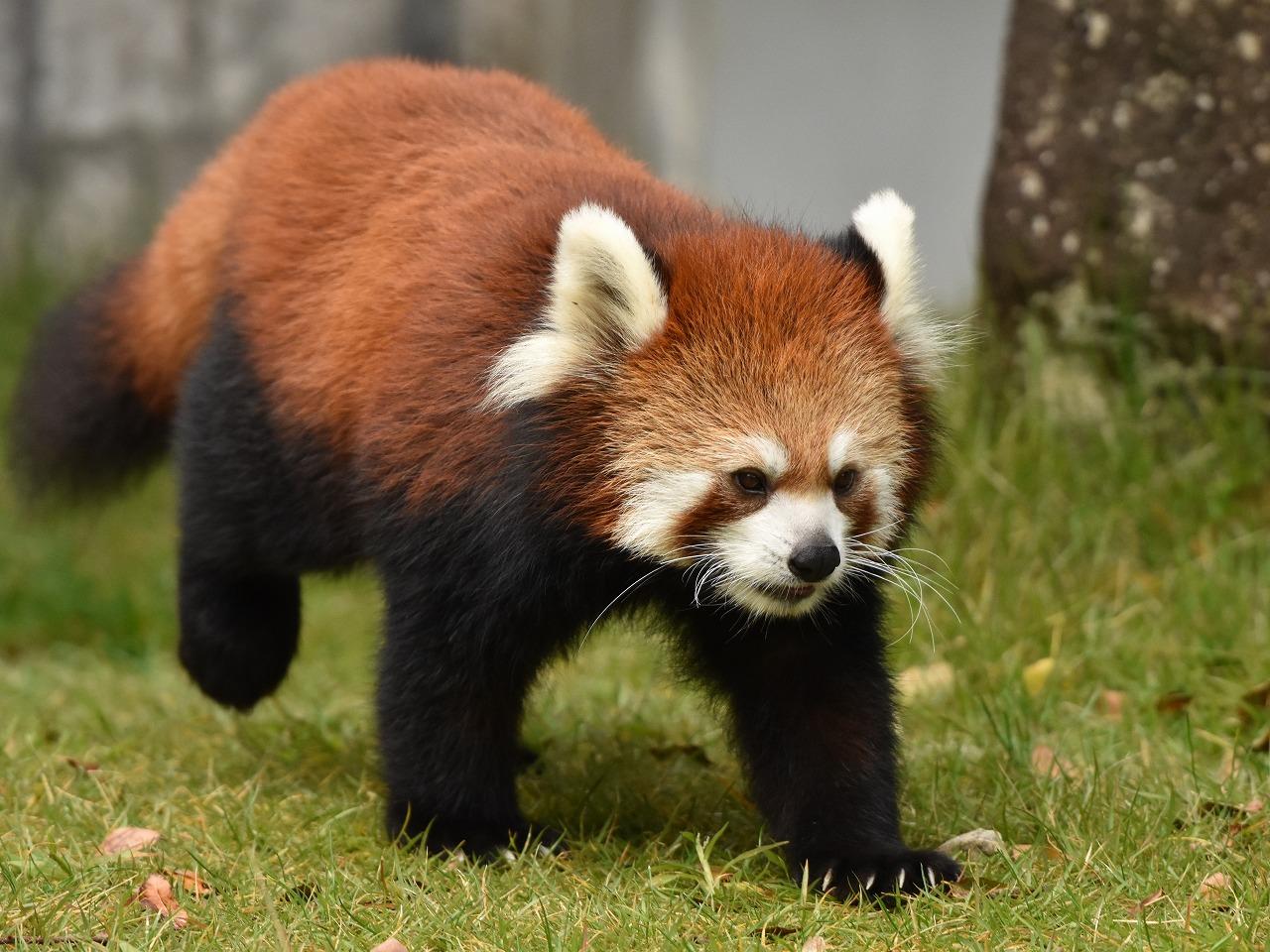 レッサーパンダの画像 p1_29